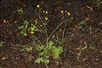 Photo 2/5 Ranunculus macrophyllus Desf.