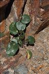 Ranunculus parnassifolius L.