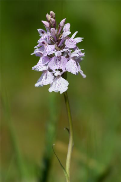 Dactylorhiza maculata (L.) Soó subsp. maculata