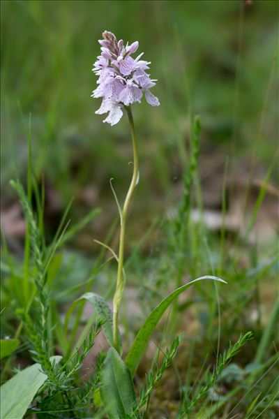 Dactylorhiza maculata (L.) Soó
