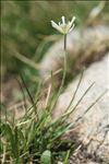 Ranunculus pyrenaeus L.