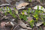 Ranunculus revelierei Boreau
