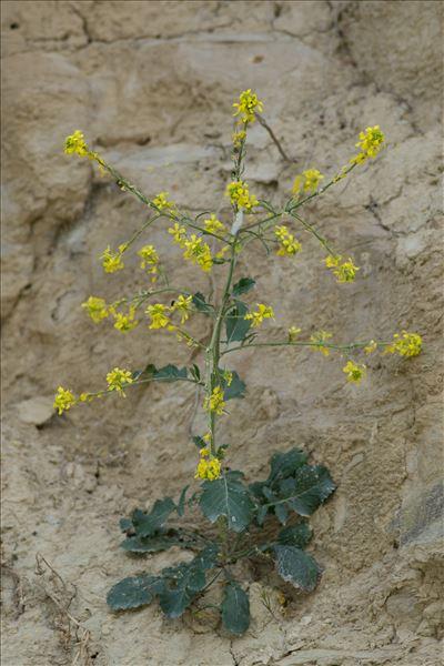 Rapistrum rugosum (L.) All.