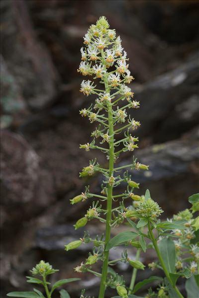 Reseda jacquinii Rchb.