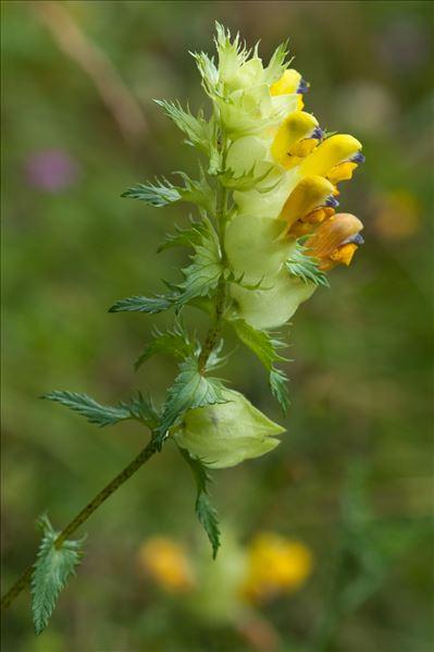 Rhinanthus angustifolius C.C.Gmel.