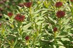 Rhodiola rosea L.