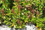 Photo 5/5 Rhododendron hirsutum L.