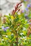 Photo 4/5 Rhododendron hirsutum L.