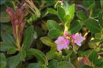Photo 3/5 Rhododendron hirsutum L.