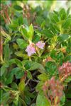 Photo 2/5 Rhododendron hirsutum L.