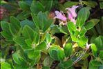Photo 1/5 Rhododendron hirsutum L.