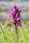 Photo 3/5 Dactylorhiza majalis (Rchb.) P.F.Hunt & Summerh.