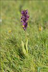 Photo 2/5 Dactylorhiza majalis (Rchb.) P.F.Hunt & Summerh.