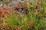 Photo 3/3 Rhynchospora alba (L.) Vahl