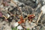Romulea columnae Sebast. & Mauri subsp. columnae