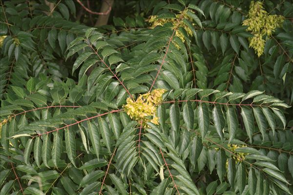 Ailanthus altissima (Mill.) Swingle