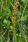 Photo 5/5 Dactylorhiza viridis (L.) R.M.Bateman, Pridgeon & M.W.Chase