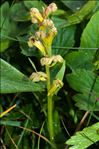 Photo 4/5 Dactylorhiza viridis (L.) R.M.Bateman, Pridgeon & M.W.Chase