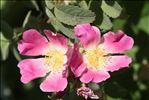 Rosa villosa L.