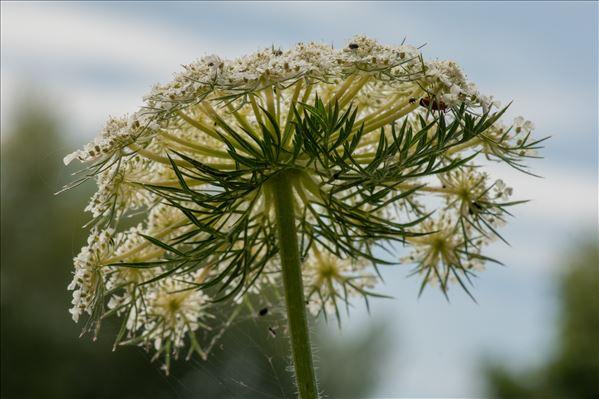 Daucus carota subsp. commutatus (Paol.) Thell.