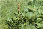 Photo 3/6 Rumex alpinus L.