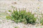 Photo 6/6 Rumex alpinus L.