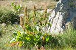 Photo 2/6 Rumex alpinus L.