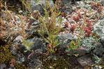 Rumex bucephalophorus L.