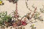 Rumex bucephalophorus subsp. gallicus (Steinh.) Rech.f.