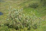 Photo 1/7 Salix glaucosericea Flod.