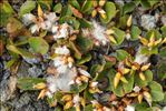 Salix herbacea L.