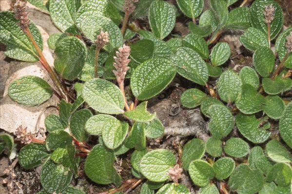 Salix pyrenaica Gouan