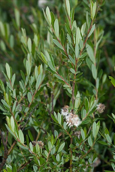 Salix repens subsp. rosmarinifolia (L.) Celak.