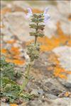 Salvia verbenaca subsp. clandestina (L.) Batt.