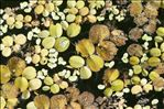 Salvinia natans (L.) All.