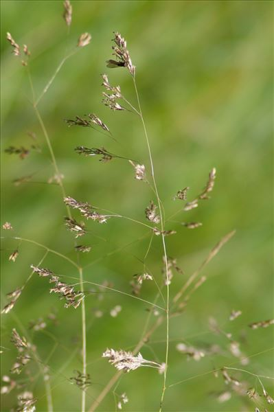 Deschampsia media (Gouan) Roem. & Schult.