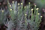 Santolina chamaecyparissus L.