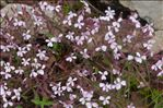 Photo 3/3 Saponaria ocymoides L.