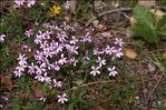 Saponaria ocymoides subsp. alsinoides (Viv.) Arcang.