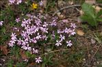 Saponaria ocymoides L.