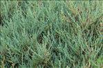 Sarcocornia fruticosa (L.) A.J.Scott