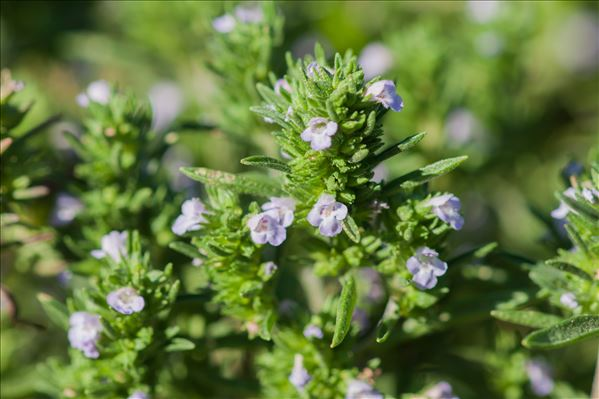 Satureja hortensis L.