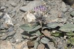 Saussurea alpina subsp. depressa (Gren.) Gremli