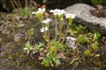 Photo 11/11 Saxifraga androsacea L.