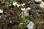 Photo 10/11 Saxifraga androsacea L.