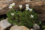 Saxifraga androsacea L.