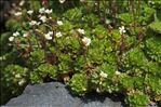 Photo 1/3 Saxifraga aquatica Lapeyr.