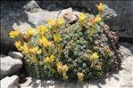 Saxifraga aretioides Lapeyr.