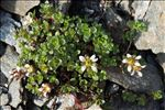 Saxifraga biflora All.