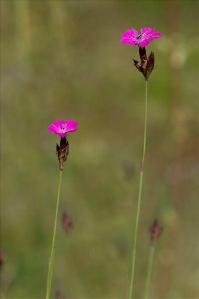 Dianthus carthusianorum L.
